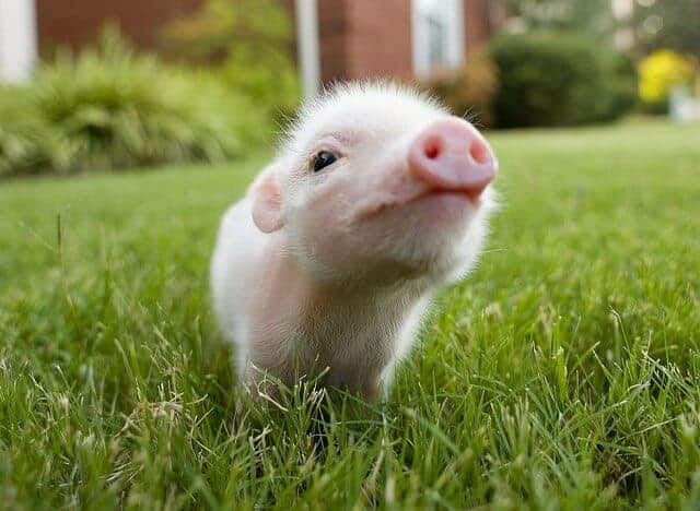 Skin from genetically modified pigs may offer alternative for burn treatment