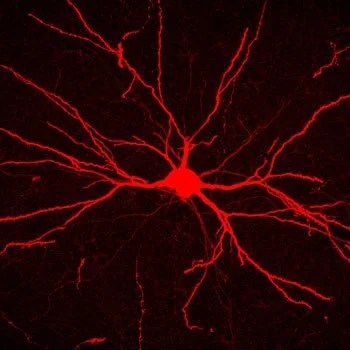 Study Advances New Theory of How the Brain Is Wired