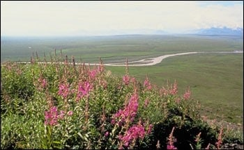 Alaska tundra shows surprising resilience after unprecedented fire