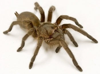 Spider venom to target insect pests