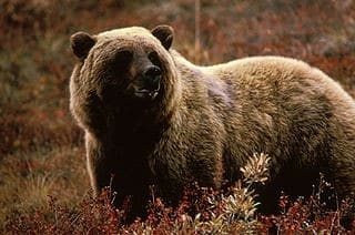Climate change has silver lining for grizzlies
