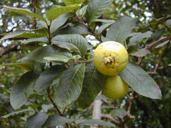 Researchers acquit guava of spreading deadly fungus