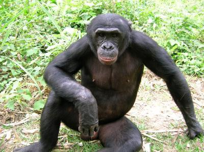 Forgotten ape threatened by human activity, forest loss