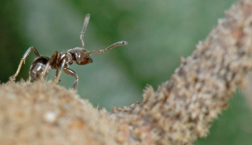 Stressed-out trees boost sugary rewards to ant defenders