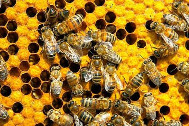 Common insecticide ingredients Fipronil and imidacloprid cut honeybee mitochondrial activity