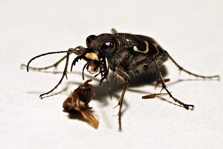 Speedy tiger beetles use antennae to 'see' while running