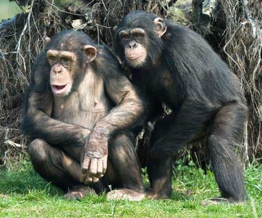 chimpanzees_520
