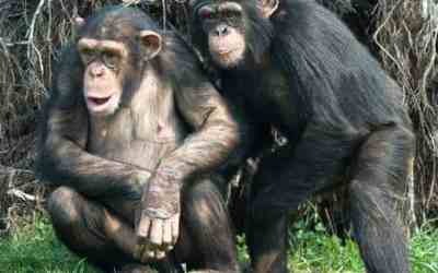 Chimpanzees Choose Cooperation Over Competition