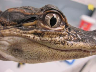 Canal between ears helps alligators pinpoint sound