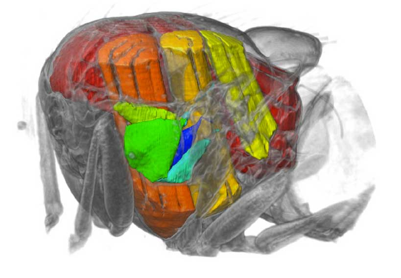 X-rays film inside live flying insects -- in 3D