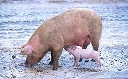 A New Probiotic Improves Pig Health, Reduces Manure Output
