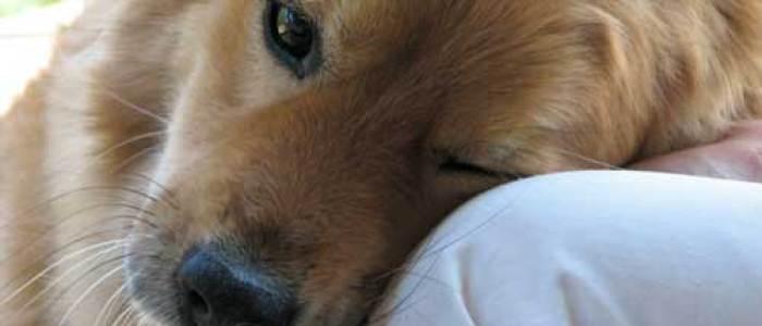 Dogs, humans share genetic basis for hypersocial behavior