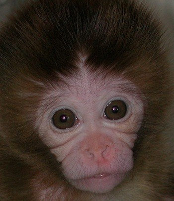 rhesus_monkey_from_journal_cover