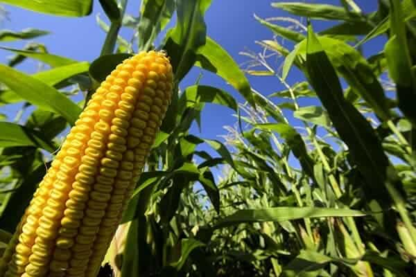 U.S. corn yields are increasingly vulnerable to hot, dry weather