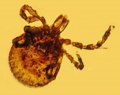 Amber discovery indicates Lyme disease is older than human race