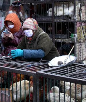Tests show high H7N9 antibodies in Chinese poultry workers