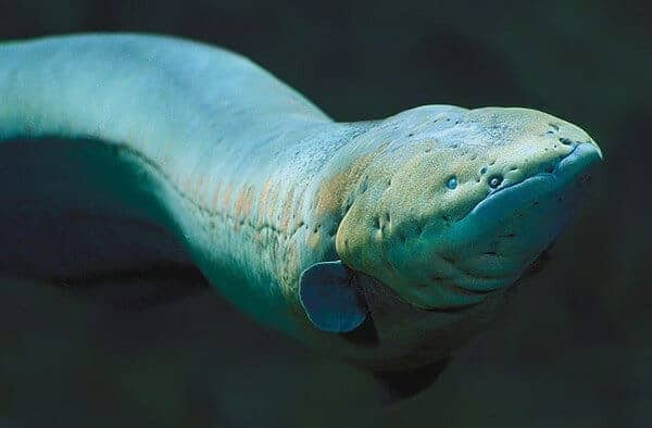 The shocking truth about electric fish