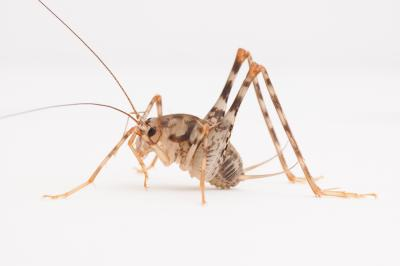 Asian camel crickets now common in US homes