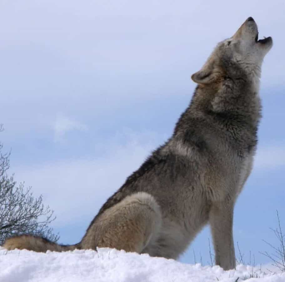Lethal wolf control backfires on livestock