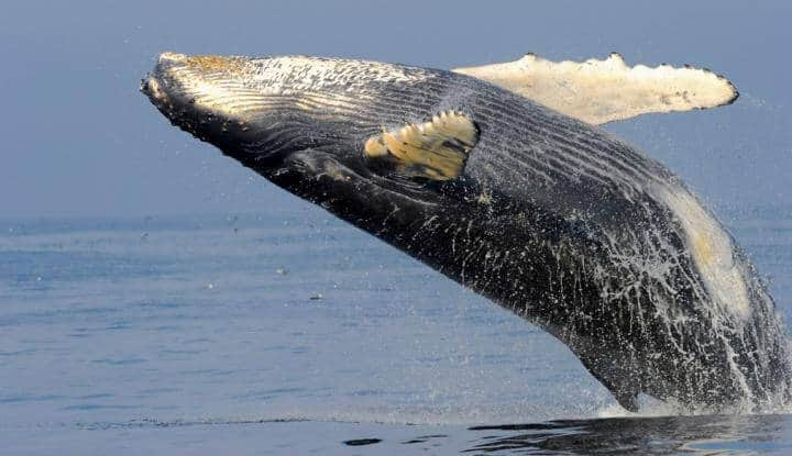 Humpback whale recovery in Australia -- A cause for celebration