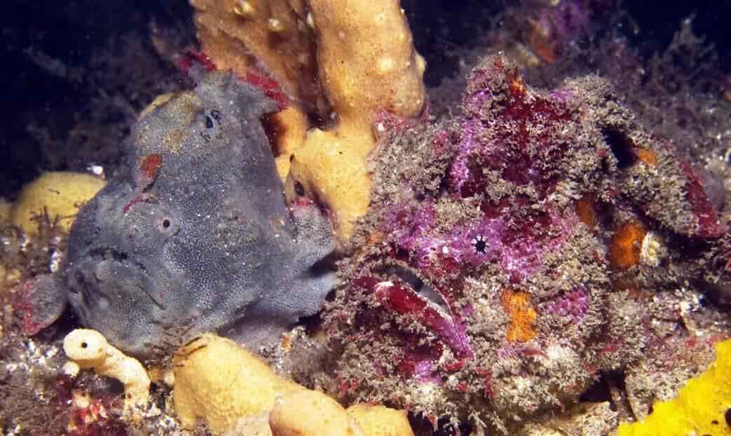 New frogfish genus and species named for its red, fingerlike fins