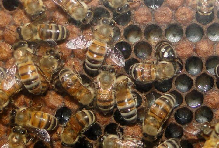 Honeybee circadian rhythms are affected more by social interactions