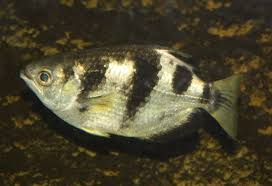 Fish can recognize human faces, new research shows