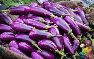 Bt eggplant close to 100% effective in controlling pests