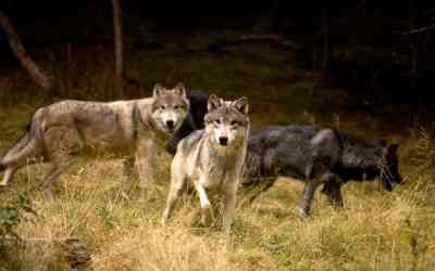 Study finds gray wolves should remain protected
