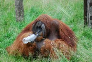 Orangutan able to guess a taste without sampling it, just like us