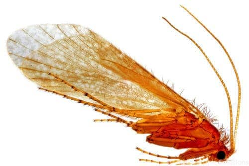 The caddisfly and its amazing underwater tape