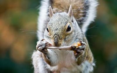 Toothy Squirrels Could Confuse Crime Scenes