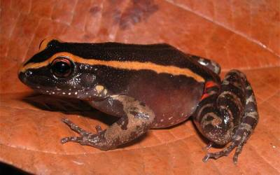 Amazonian frog has its own ant repellent