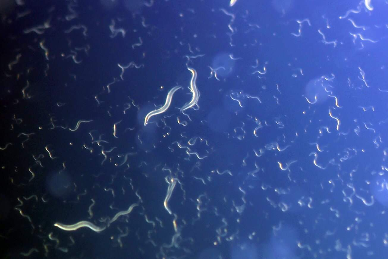 Underfed Worms Program Their Babies to Cope With Famine