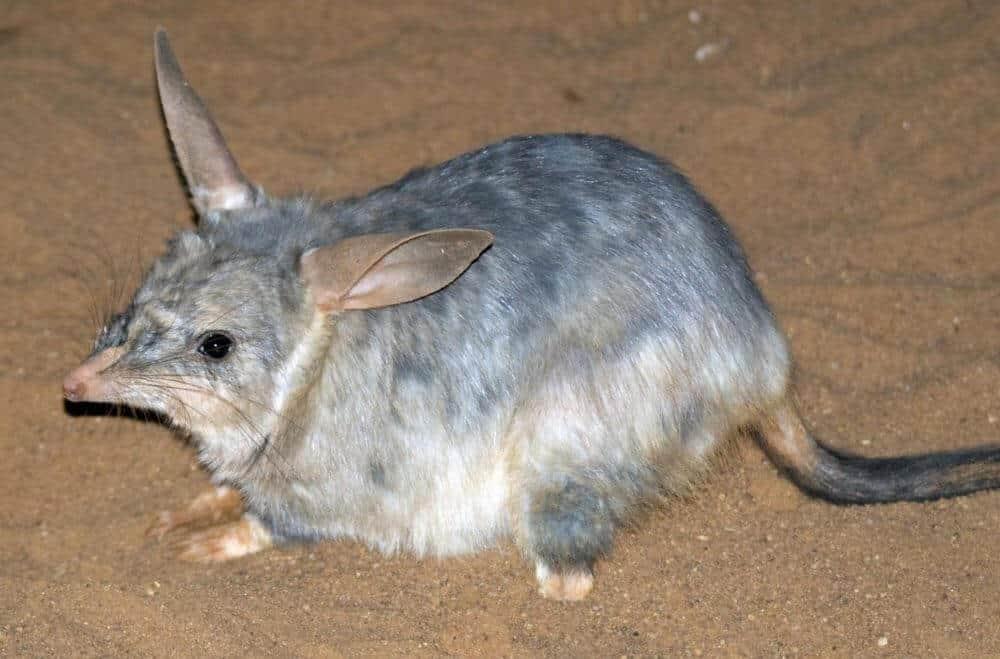 endangered-australasian-marsupials-are-ancient-survivors-of-climate-change