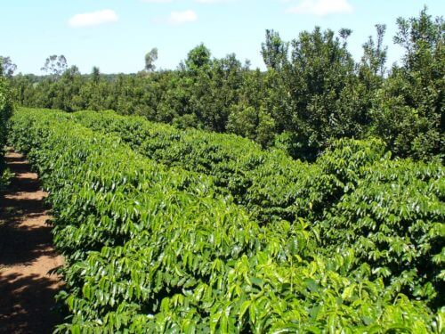 Matchmaking for coffee? Intercropping coffee plants, macadamia trees helps both
