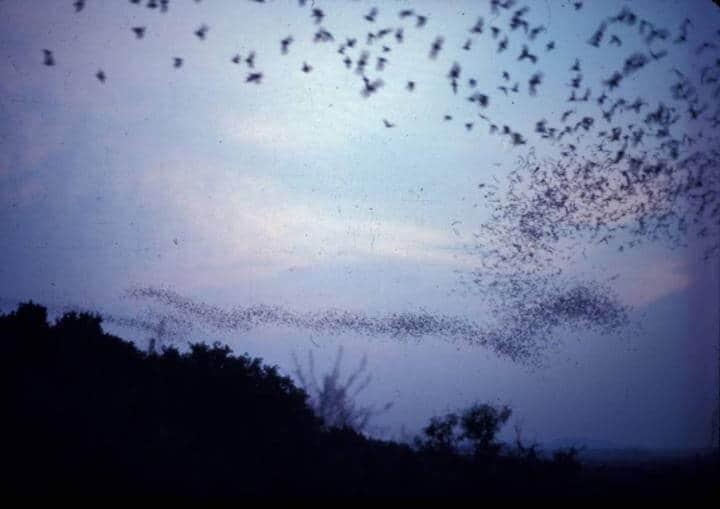 It's not a bird! It's not a plane! It's the fastest flying mammal
