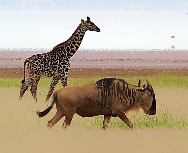 How Does Saving A Wildebeest Migration Help Giraffes?