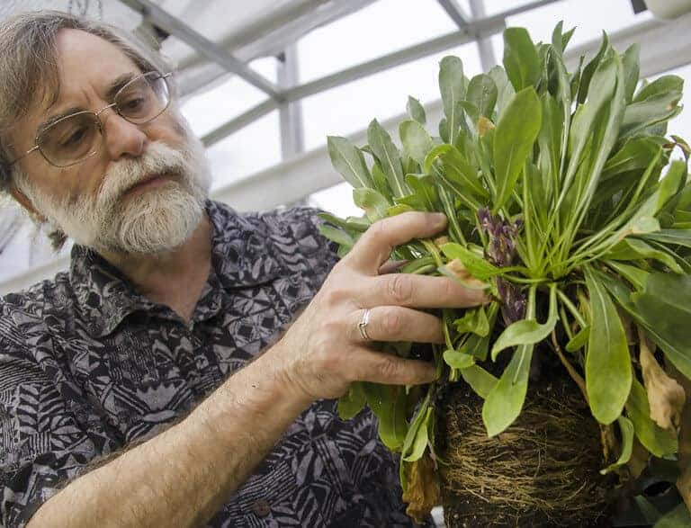 Claude dePamphilis, Professor of Biology in Penn State's Eberly College of Science, displays a broomrape, a parasitic plant growing from grindella, in the greenhouse adjacent to Buckhout Laboratory.