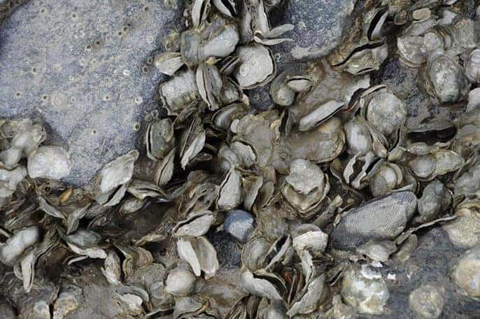 Mass oyster die-off in S.F. Bay related to atmospheric rivers
