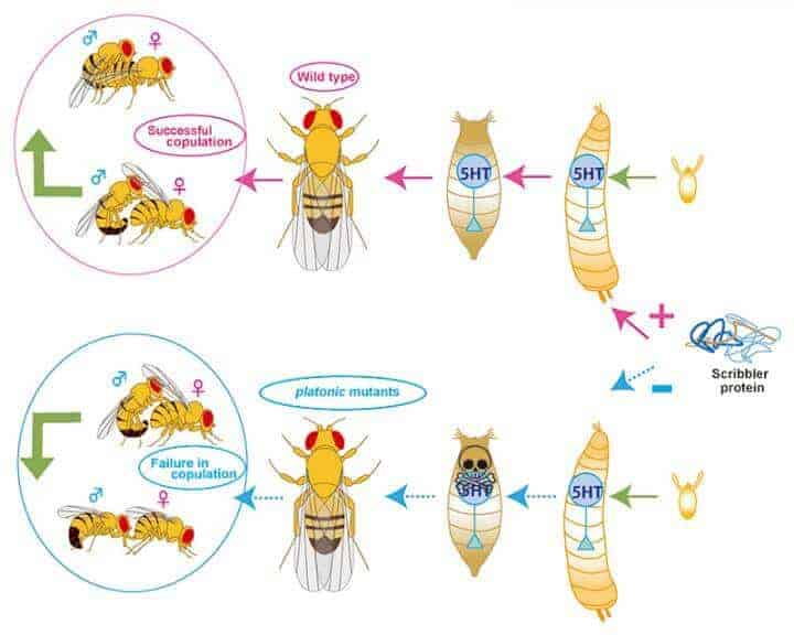 Why 'platonic' flies don't copulate and what that could mean for humans