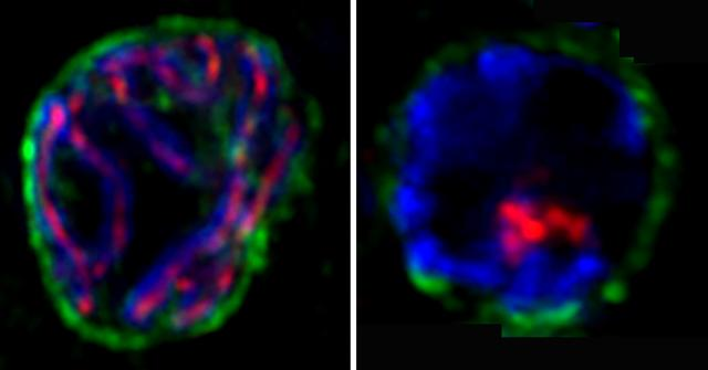 Protein dictates speed at which chromosomes pair up, pass DNA
