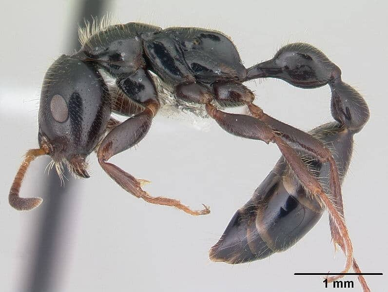 New antibiotic from bacteria found on Kenyan ant could help beat MRSA