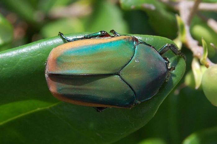 Scientists decipher the nanoscale architecture of a beetle's shell