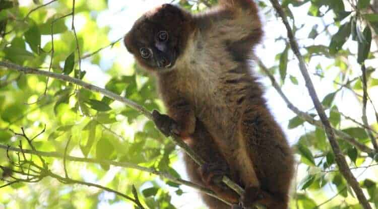Researchers Design Facial Recognition System for Lemurs