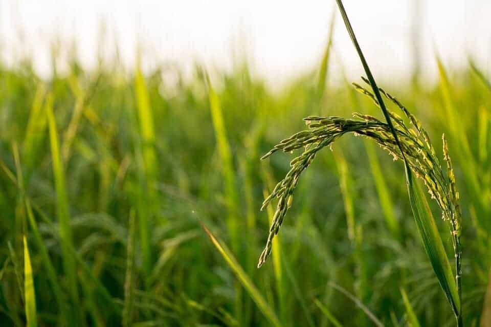 Rice yields plummet and arsenic rises in future climate-soil scenarios