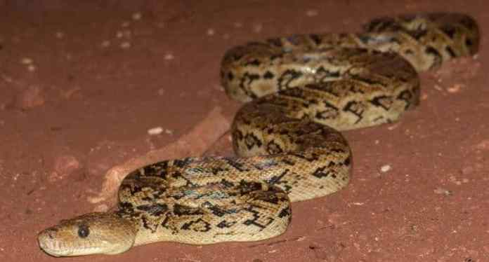 Snakes, thought to be solitary eaters, coordinate hunts