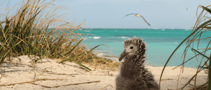 Lessons from a Tsunami Could Help Protect Seabirds in the Face of Rising Seas