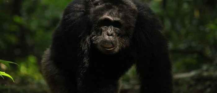 How working together on patrols benefits chimps