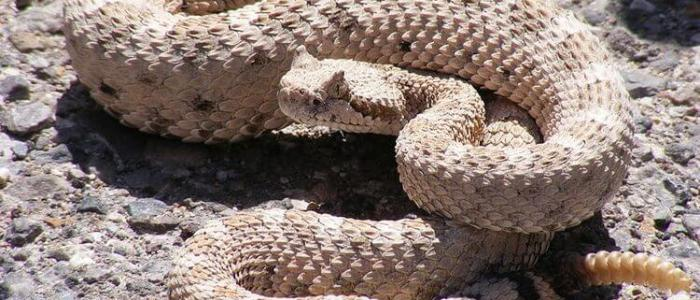 5 Things to Know About Rattlesnakes and Their Babies